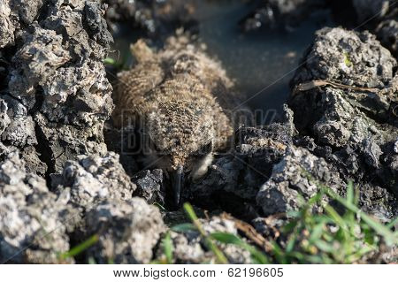 Spur-winged Plover Chick Hiding In Mud