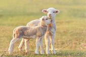 stock photo of lamb  - Two little lambs at eco farm - JPG