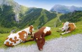 Picture of lazy cows.