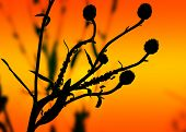 stock photo of aphid  - Silhouette of a plant with ants and aphids against the sunset - JPG