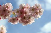 foto of japanese magnolia  - Blooming spring tree branch in the sky - JPG