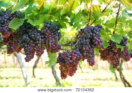 Red Grapes With Green Leaves On The Vine