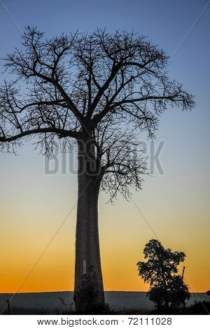 Baobab at sunrise