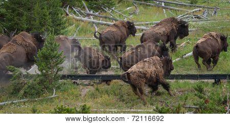 Running Bison Heard