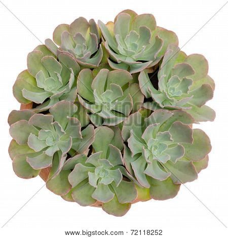 Succulent Plant Isolated On White Background