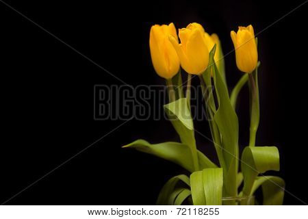 Yellow tulips on a dark background