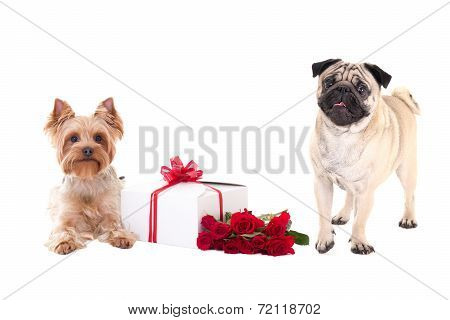 Valentine's Day - Yorkshire Terrier And Pug Dog With Gift Box And Flower Isolated On White