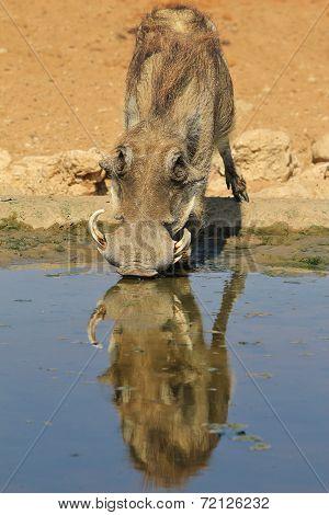 Warthog - African Wildlife Background - Reflection of Uniqueness