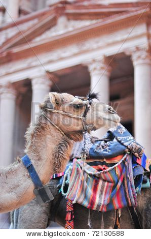 Camel In Al Khazneh - Treasury, Petra