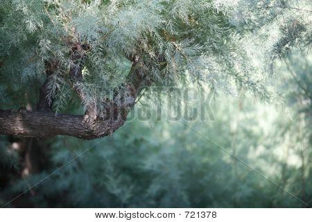 Casuarina Green