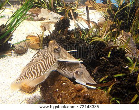 Cuttlefish close up. Underwater aquatic life