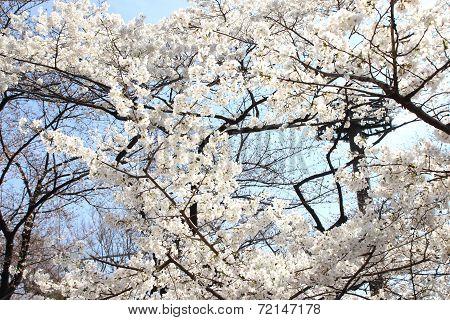 Cherry Blossom - Sakura
