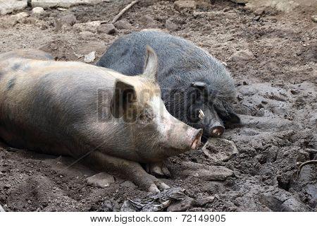 Wild Boars Sleeping