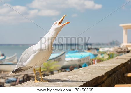 A Lesser Black-Backed Gull (Larus fuscus) screeching on the beach