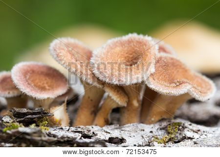 Young Hairy Mushroom Cluster