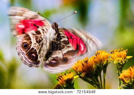 American Lady Butterfly Abstract.