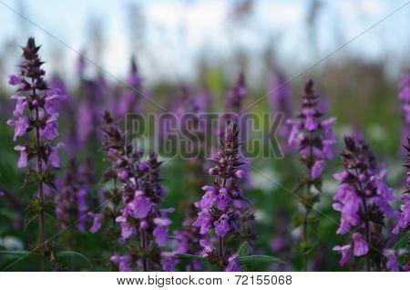 The field of purple flowers