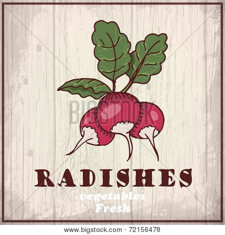 Fresh vegetables sketch background. Vintage hand drawing illustration of a radishes