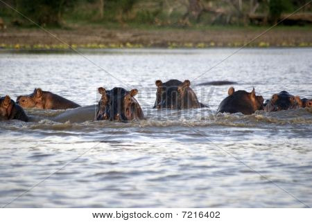 Hippos, Selous National Park, Tanzania