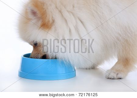 White Pomeranian Puppy Dog Eating Food Isolated On White Background