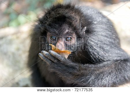 Spider Monkey And Leaf