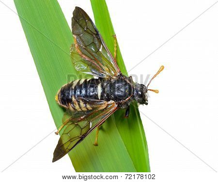 Insect Sawfly (tenthredinidae)