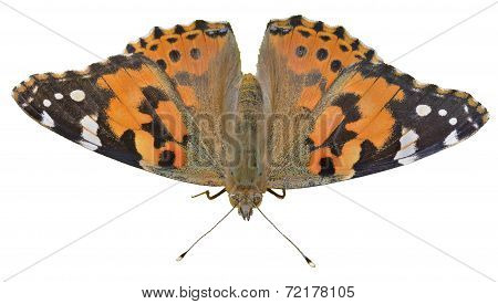 Butterfly (vanessa Cardui)