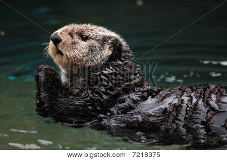 Arctic Sea Otter