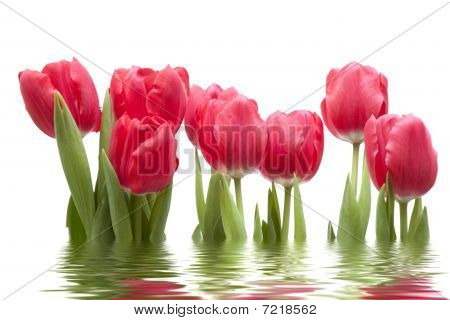 Isolated Tulips With Reflection