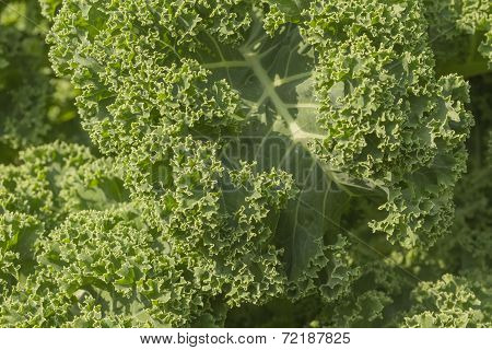 Curly Kale Background