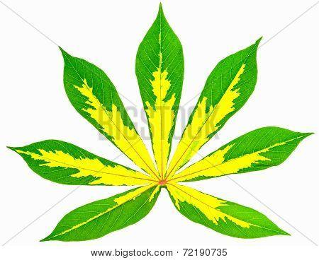 Texture Of Cassava Leaf