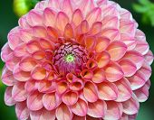 picture of plant species  - Pink Dahlia - JPG