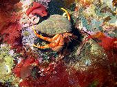 pic of hermit crab  - The mysterious underwater world of the Barents sea - JPG