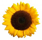 foto of sunflower  - closeeup of sunflower bloom isolated on white background - JPG