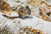 image of chipmunks  - wild chipmunk sitting down eating a brazil nut holding it with both hands - JPG
