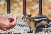 picture of chipmunks  - close up of female hands feeding nuts to a wild chipmunk - JPG