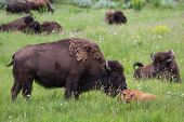 stock photo of female buffalo  - wildlife showing affection with a mother cleaning her baby in yellowstone national park - JPG