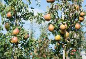 foto of anjou  - Reddish pears hanging from the branches of low - JPG