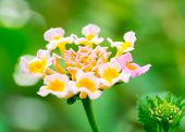 stock photo of lantana  - Macro of Lantana flower with nice bokeh  - JPG