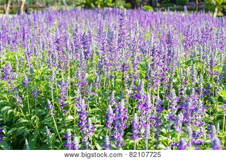 Blooming Lavender  Flower