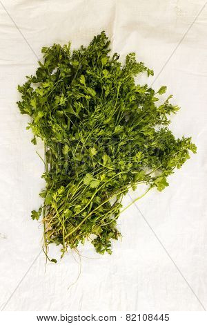Freshly plucked Cilantro / Coriander / Chinese parsley / Dhania on an plain background