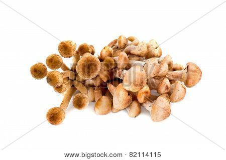 Honey Fungus, Or Armillaria Or ?penky