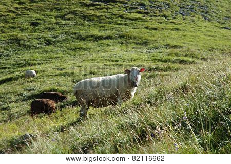 Sheep On Meadow In Alps In Switzerland