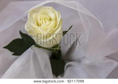 Beige Rose On White Tulle