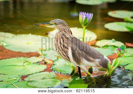 Beautiful Javan Pond Heron Bird