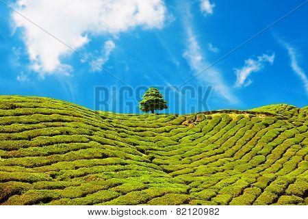 Beautiful Landscape Of Tea Plantation In Cameron Highlands, Malaysia