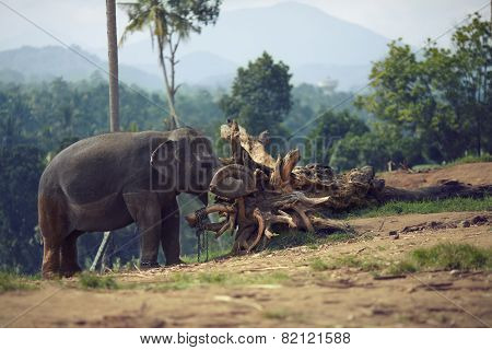 Elephant chained to a snag