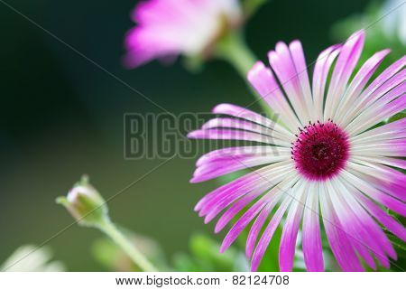Close Up Of Daisy Flower On Flower Meadow