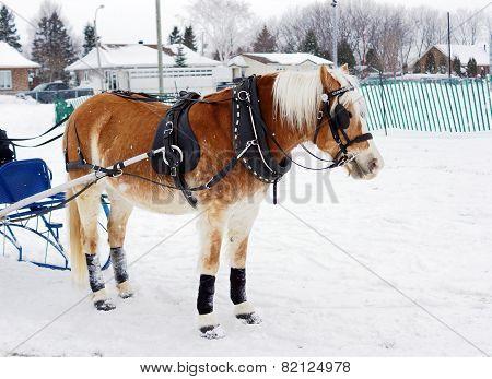 Haflinger Horse In Winter Competiton