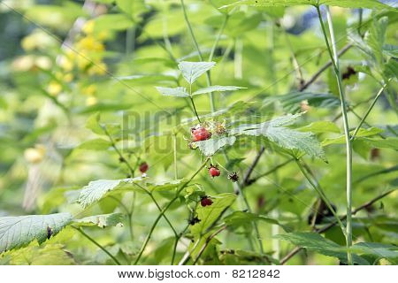 There Is A Branch Of Wild Raspberry In-field
